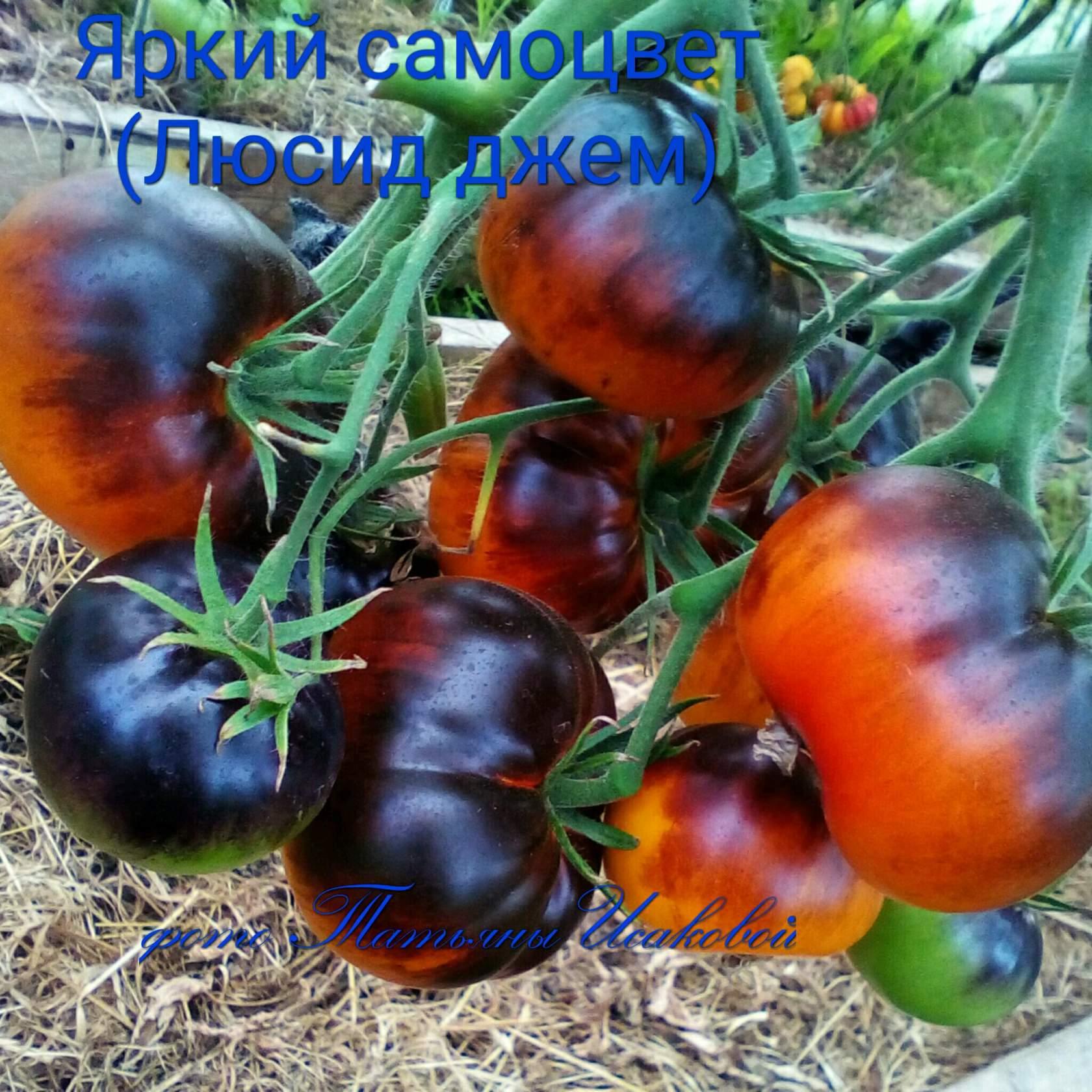 томат семена татьяна